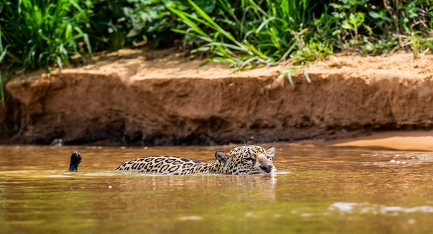 Portrait of a jaguar in the jungle