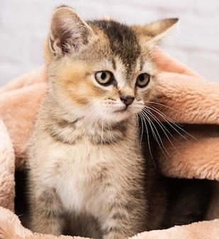 Portrait of a kitten scottish chinchilla straight sitting in a blanket, close up