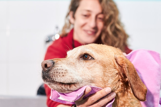 Portrait of labrador retriever being towel-dried by a smiling woman slightly