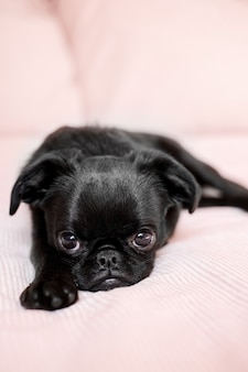 Portrait of laying in a bed black puppy dog petit brabanson griffon cute face with big eyes  at light pink blanket background close up