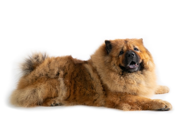 Portrait of lazy chow chow dog lying on the floor isolated on white