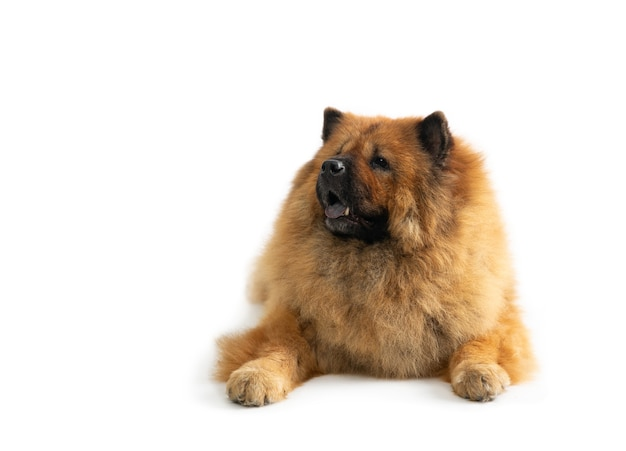 Portrait of lazy chow chow dog sitting on the floor with tongue sticking out isolated on white