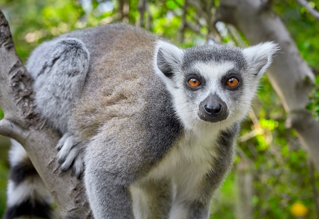 Portrait of a lemur in the branch of a tree