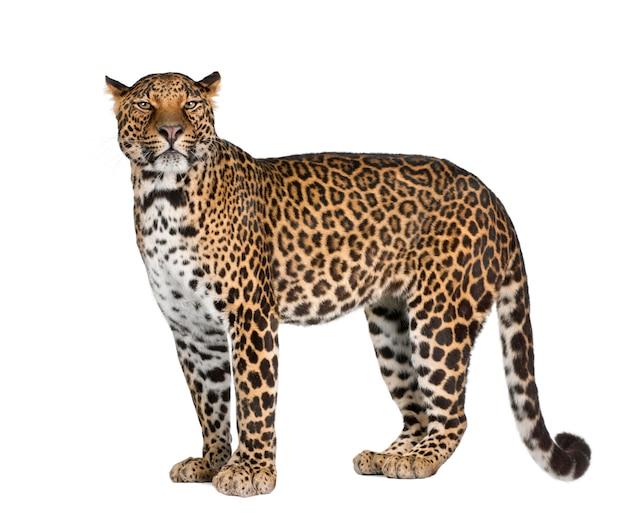 Portrait of leopard, panthera pardus, standing