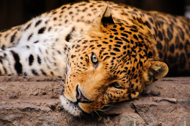 Portrait of leopard with intense eyes