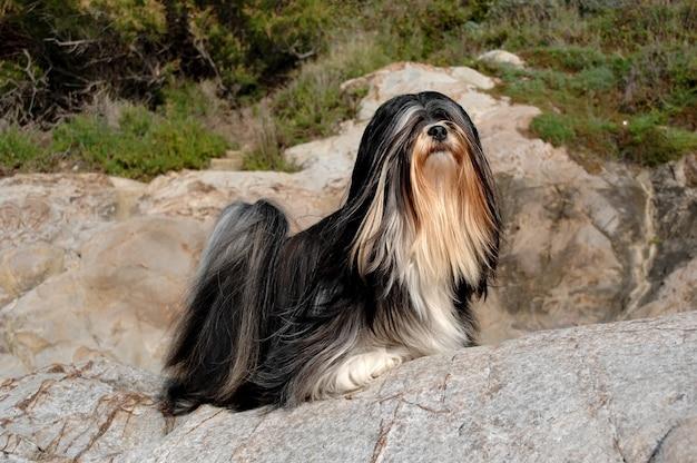 Portrait of lhasa apso dog