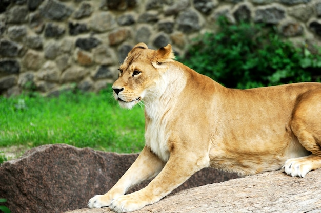 A portrait of a lioness relaxing on grass