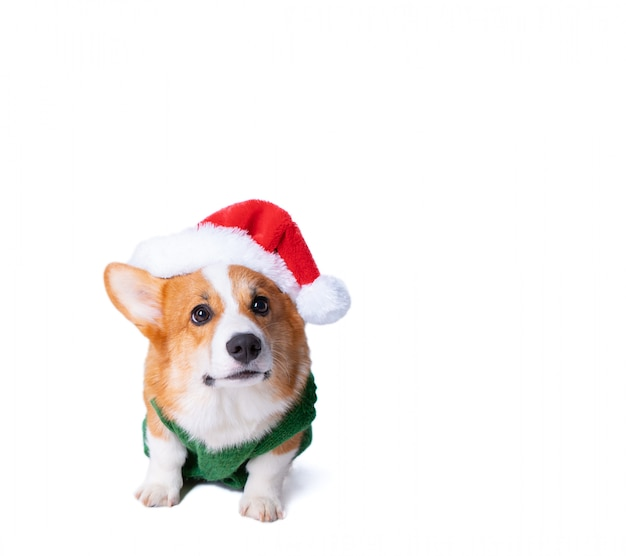 Portrait of the little funny puppy corgi in red santa claus cap