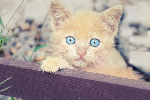 Portrait of little peach-colored kitten.