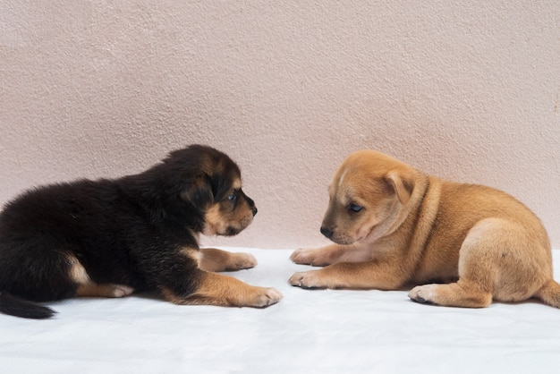 Portrait of little puppies dog are playing looking at each other under concept friendship or teamwork discussion