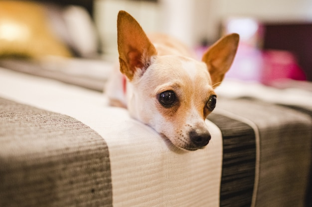 Portrait of the long face of a small dog lying on a sofa.