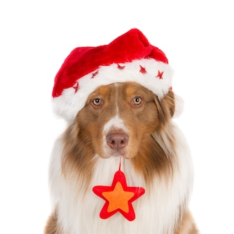 Portrait of a looking australian shepherd wearing a santa hat and a christmas star.