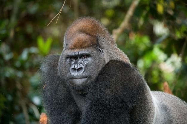 Portrait of lowland gorilla. republic of the congo.