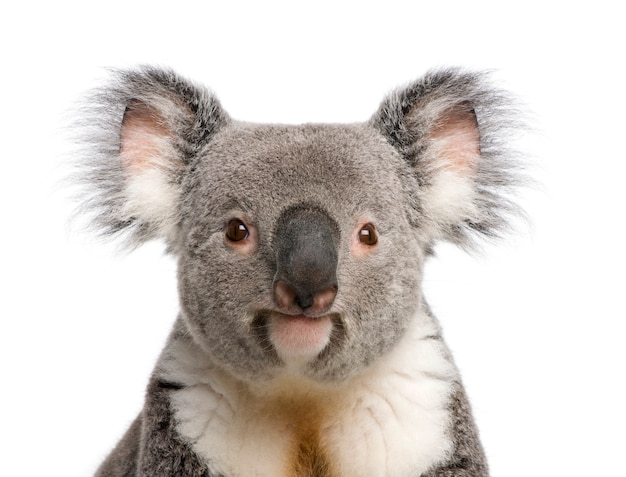 Portrait of male koala bear, phascolarctos cinereus, on a white isolated,