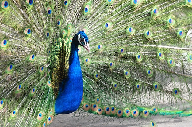 Portrait of male peacock with opened  tail
