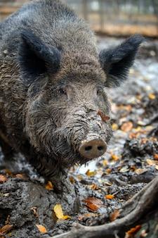 Portrait male wild-boar in autumn forest. wildlife scene from nature
