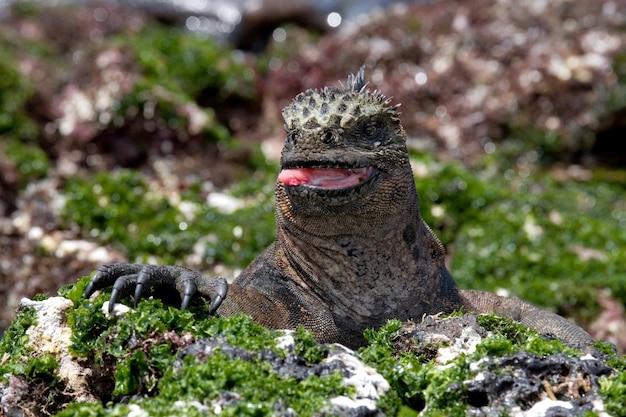 Portrait of the marine iguana in nature