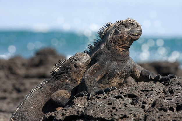 Portrait of the marine iguanas in nature