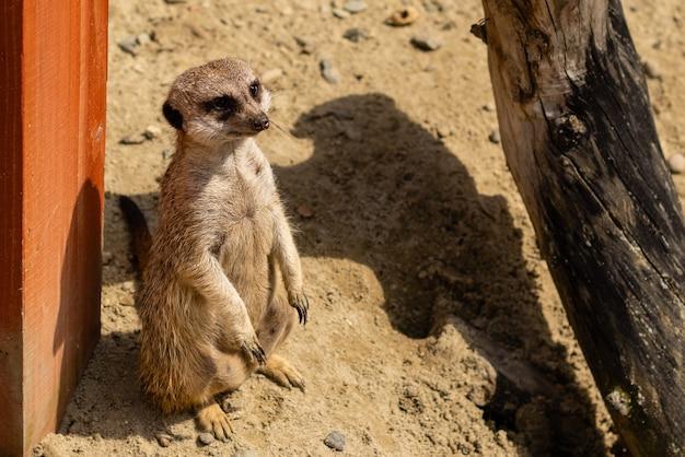 Portrait of meerkat suricata