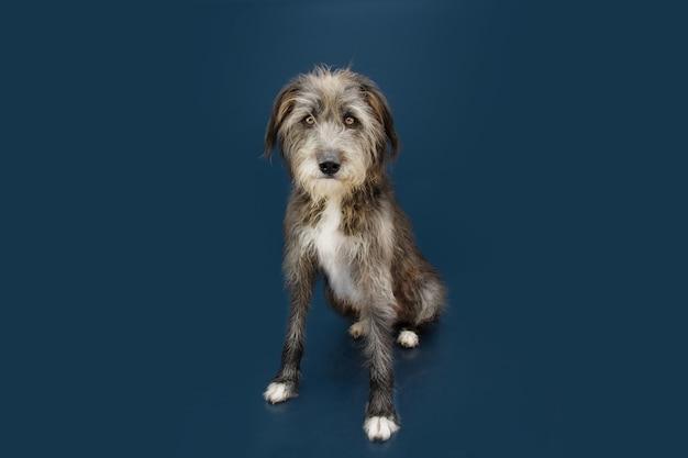 Портрет смешанной собаки, сидящей на темно-синей поверхности с серьезным выражением лица