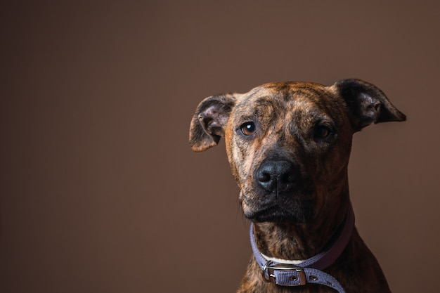 Portrait of a mixed breed dog in an interior studio with brown wall