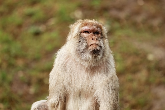 Portrait of a monkey in the park. wild monkey family at sacred monkey forest.