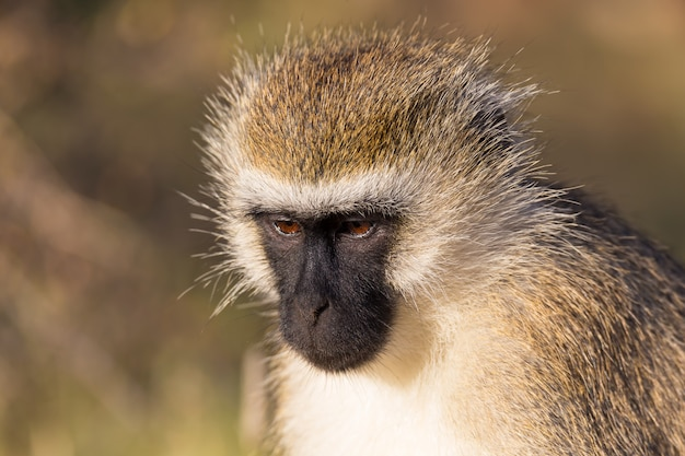 The portrait of a monkey in the savannah of kenya
