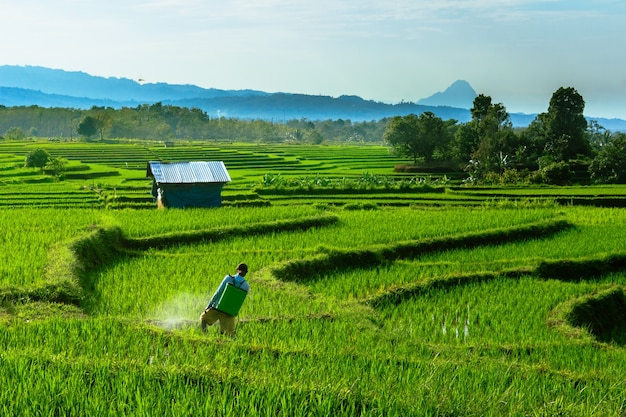 A portrait of the morning activity of farmers spraying with the sunrise over the rice fields of bengkulu, indonesia