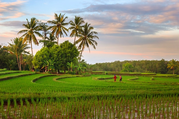 Portrait of morning activity with sunrise over the rice fields of bengkulu, indonesia
