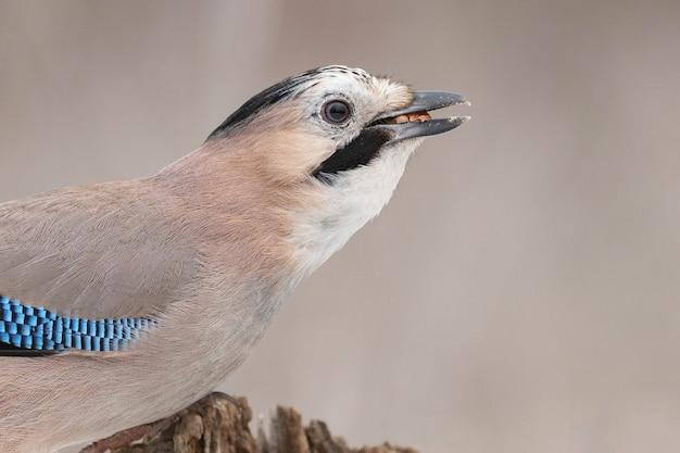Portrait of nice bird eurasian jay, garrulus glandarius.
