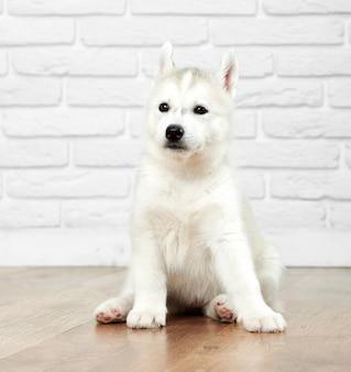 Ritratto di simpatico e simpatico cane husky siberiano con occhi neri, pelliccia grigia e bianca, seduto sul pavimento e guardando lontano. cucciolo divertente come il lupo, i migliori amici delle persone.