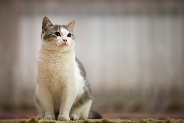 Portrait of nice white and gray cat with green eyes sitting outdoors looking straight upwards on blurred light sunny .