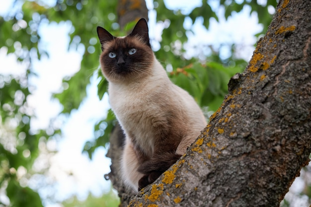 Portrait of a noble siamese cat sitting on n old tree