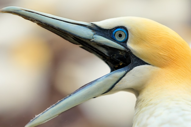 Portrait of northern gannet, bass rock island, scotland