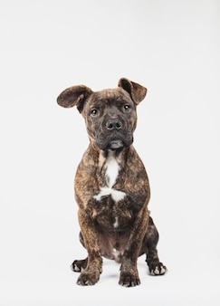 白い背景で隔離の座っている生後3ヶ月のアメリカのスタンフォード子犬の肖像画。
