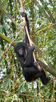 赤ちゃんボノボの肖像画。コンゴ民主共和国。ローラヤボノボ国立公園。