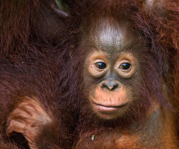 Портрет детеныша орангутанга. крупный план. индонезия. остров калимантан (борнео).