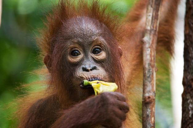 아기 오랑우탄의 초상화입니다. 확대. 인도네시아. 칼리만탄 섬(보르네오).