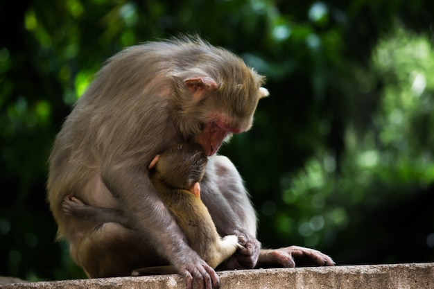 엄마의 우유를 마시는 아기 붉은 털 원숭이 원숭이의 초상화