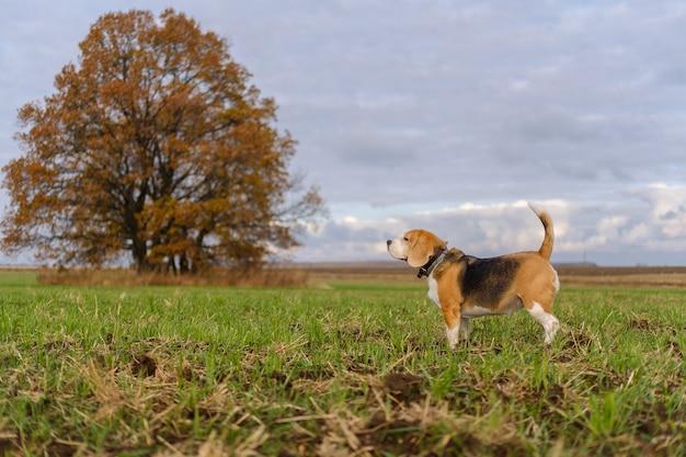 黄色の葉を持つ美しい秋のオークのビーグル犬の肖像画。秋の日の散歩のビーグル犬