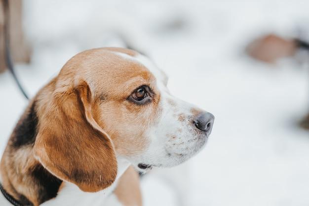 Портрет красивой собаки бигль в зимнем лесу