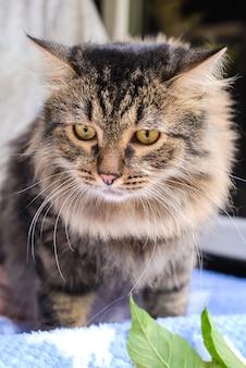 Портрет красивой коричневой пушистой кошки крупным планом