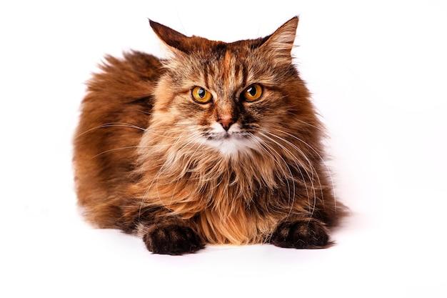 美しい猫、クローズアップ、白い背景で隔離の肖像画