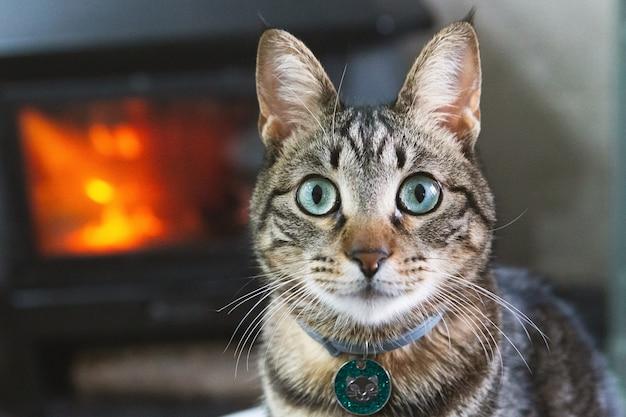백그라운드에서 화재로 집에서 아름다운 국내 고양이의 초상화