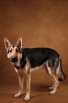 茶色の背景に立っている美しいジャーマンシェパード犬の肖像画