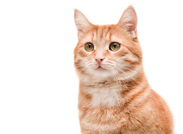 孤立した白い背景の上の美しい生姜猫の肖像画