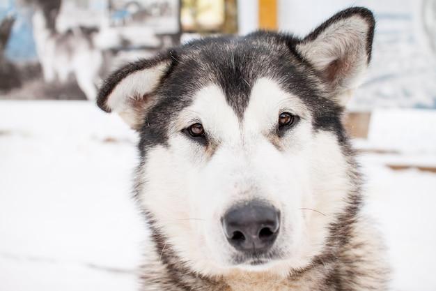 허스키 품종의 아름다운 북부 강아지의 초상화.