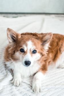 白い背景の上の美しい赤髪の犬の肖像画。