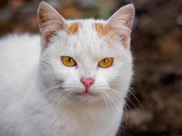 歩きながらオレンジ色の目を持つ美しい白猫の肖像画