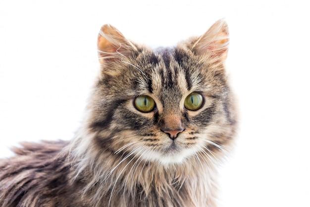 孤立した白地に美しい若いフワフワした猫の肖像画